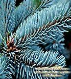 BLUE SPRUCE Fragrance Oil & Essential Oil Blend - 100% UNCUT - Sophisticated blended with pine and cedarwood essential oils - BULK Fragrance Oil By Oakland Gardens (030 mL - 1.0 fl oz Bottle)