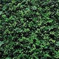 Greensmart Decor Artificial Lemon (Yellow) Leaf Wall Panels, Set ...